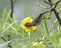 Purple Sunbird (Female) I IMG 5504.jpg