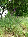 Purple toadflax (Linaria purpurea) - geograph.org.uk - 851854.jpg