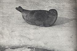 Pusa hispida saimensis ca 1956.jpg
