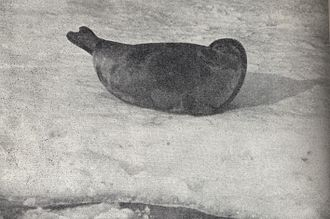 Photo of Pusa hispida saimensis, also known as Saimaa Ringed Seal, from 1956. Living only in Lake Saimaa, Finland, Saimaa Ringed Seals are among the most endangered seals in the world, having a total population of only about 400 individuals. Pusa hispida saimensis ca 1956.jpg
