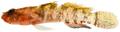 Pycnomma roosevelti - pone.0010676.g180.png