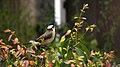 Pycnonotus sinensis - panoramio (006).jpg