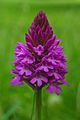 Pyramidal orchid - geograph.org.uk - 191612.jpg