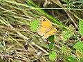 Pyronia tithonus, Djerdap NP, Srbija (20).jpg