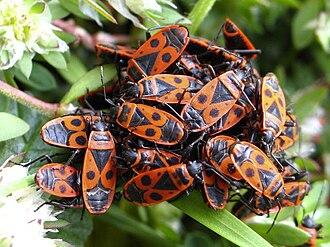 Pyrrhocoris apterus - Image: Pyrrhocoris apterus group