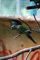 Pyrrhura molinae -Kuala Lumpur Bird Park-8a.jpg