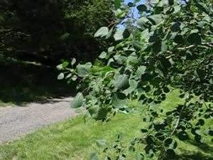 File:Quaking aspen in light breeze.ogv