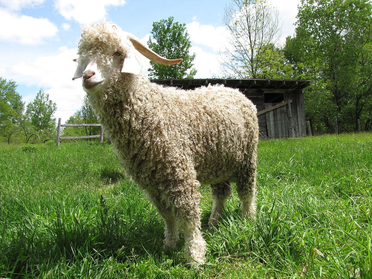 angora goat wikipedia