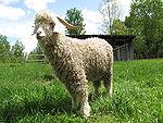 Quebec angora goat