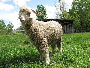 An Angora goat.