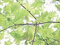 Quercus ambigua0.jpg