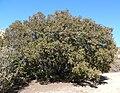 Quercus chrysolepis 1.jpg