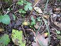 Quercus frainetto Bosilegrad 5.JPG