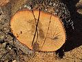 Quercus pyrenaica 20110809.jpg