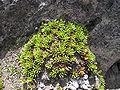 Quito Lichen neartheChimborazo2.JPG