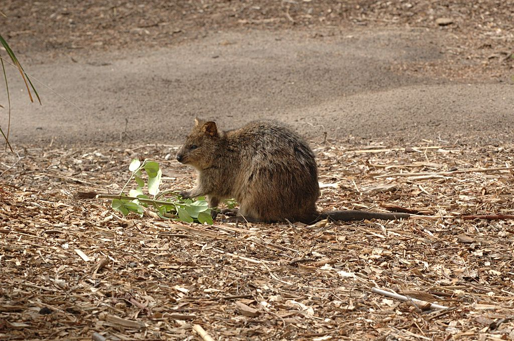 File:Quokka-Melbourne-Zoo-20070224-073.jpg - Wikimedia Commons