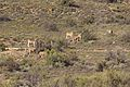 R381, Loxton to Beaufort West, South Africa 12.jpg