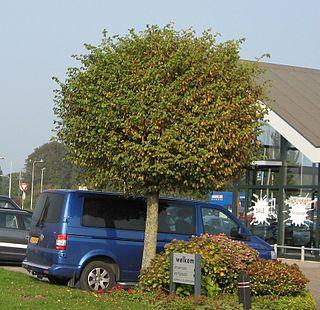 <i>Ulmus minor</i> Umbraculifera Elm cultivar