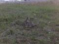 Rabbit-2.tiff