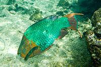 Rainbow parrotfish Scarus guacamaia terminal phase.jpg