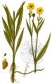 Ranunculus lingua - Sturm.png