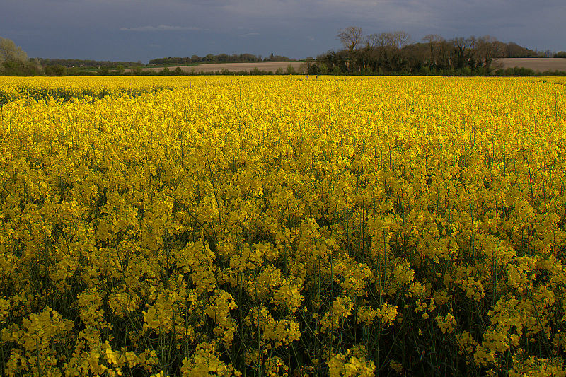 http://upload.wikimedia.org/wikipedia/commons/thumb/5/5d/Rapeseed_field.jpg/800px-Rapeseed_field.jpg