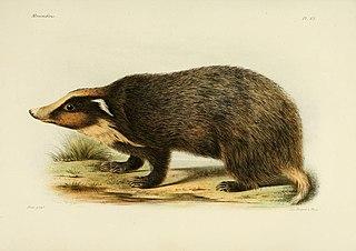 Northern hog badger