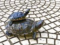 Red-eared and Yellow-bellied slider.jpg