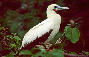 Red-footed Booby (Sula sula) (22079771838).jpg