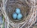 Red-winged blackbird nest (34773107254).jpg