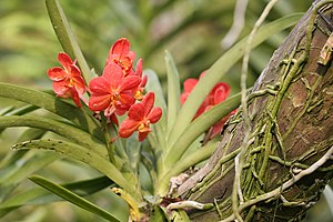 English: An epiphytic orchid in the , .