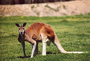 Kangaroo - A male red kangaroo