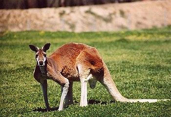 Red Kangaroo, photo taken at Western Plains Zo...