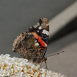 Red Admiral (7728048228)