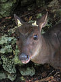 Red Brocket Deer in Barbados 04.jpg