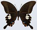 Red Helen (Papilio helenus) underside (8419742721).jpg