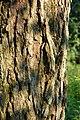 Red Maple Acer rubrum Bark 2000px.jpg