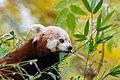 Red Panda (37661716135).jpg