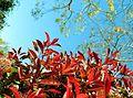 Red Pivet Bush Against Sky in Bay Area, California.JPG