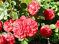 Red Rose flowers 05.jpg