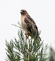 Red Tail Hawk (35702929143).jpg