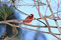 Red Warbler (Ergaticus ruber ruber).jpg
