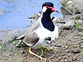 Red Wattle Lapwing and its offspring.jpg