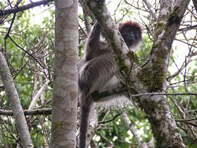 Red colobus kibale.JPG