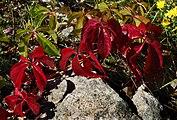Red five-leaved ivy on granite.jpg