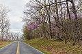 Redbud Blossoms Along the Drive (34510735156).jpg