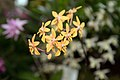 Renanthopsis Mildred Jameson - Internationale Orchideen- und Tillandsienschau Blumengärten Hirschstetten 2016 b.jpg