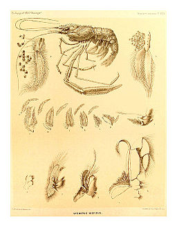 Report on the Crustacea Macrura collected by H.M.S. Challenger Pl. XXX - Stenopus hispidus