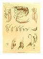 Report on the Crustacea Macrura collected by H.M.S. Challenger Pl. XXX - Stenopus hispidus.jpg