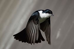 Restless flycatcher in flight